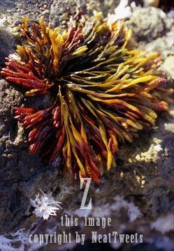 pacific ocean seaweed  ... , digital image (jpg)...