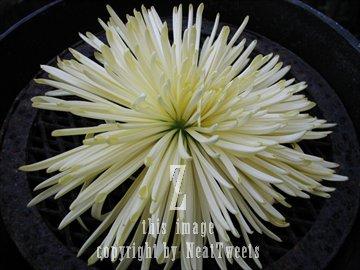Fine photography by greg photo white spiky carnation mightylinksfo