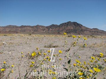 Fine photography by greg photo death valley in the spring yellow flowers mightylinksfo
